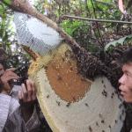 Người Campuchia khai thác mật ong rừng